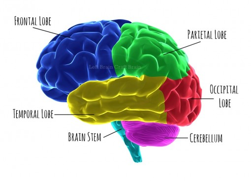 Human brain parts highlighted with clipping path