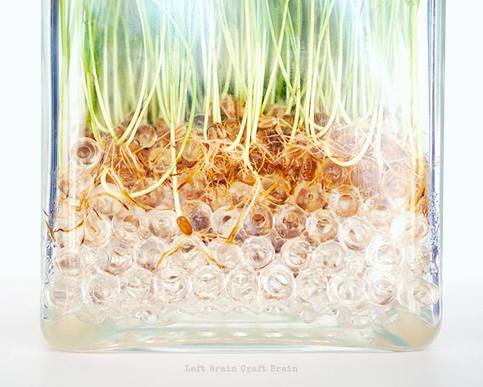 Wheatgrass Roots